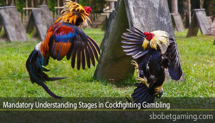 Mandatory Understanding Stages in Cockfighting Gambling